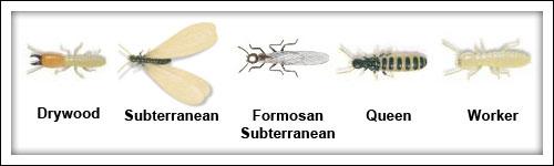 Termite Pest Control for Drywood Termites