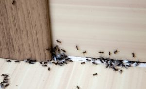Ant Pest Control in a Houston home.