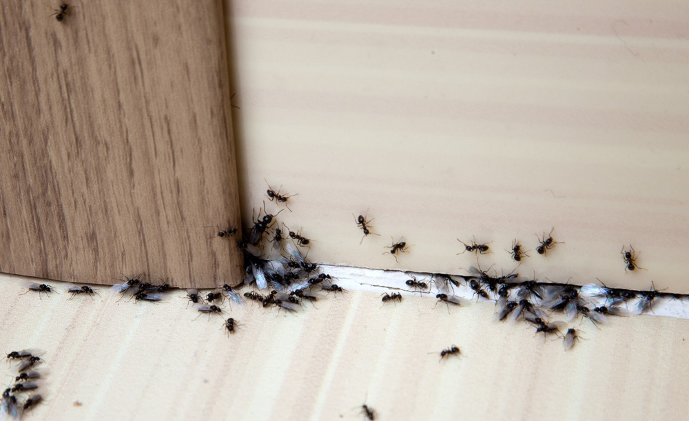 Ant Extermination Prevention In Houston Tx Hartz Pest Control