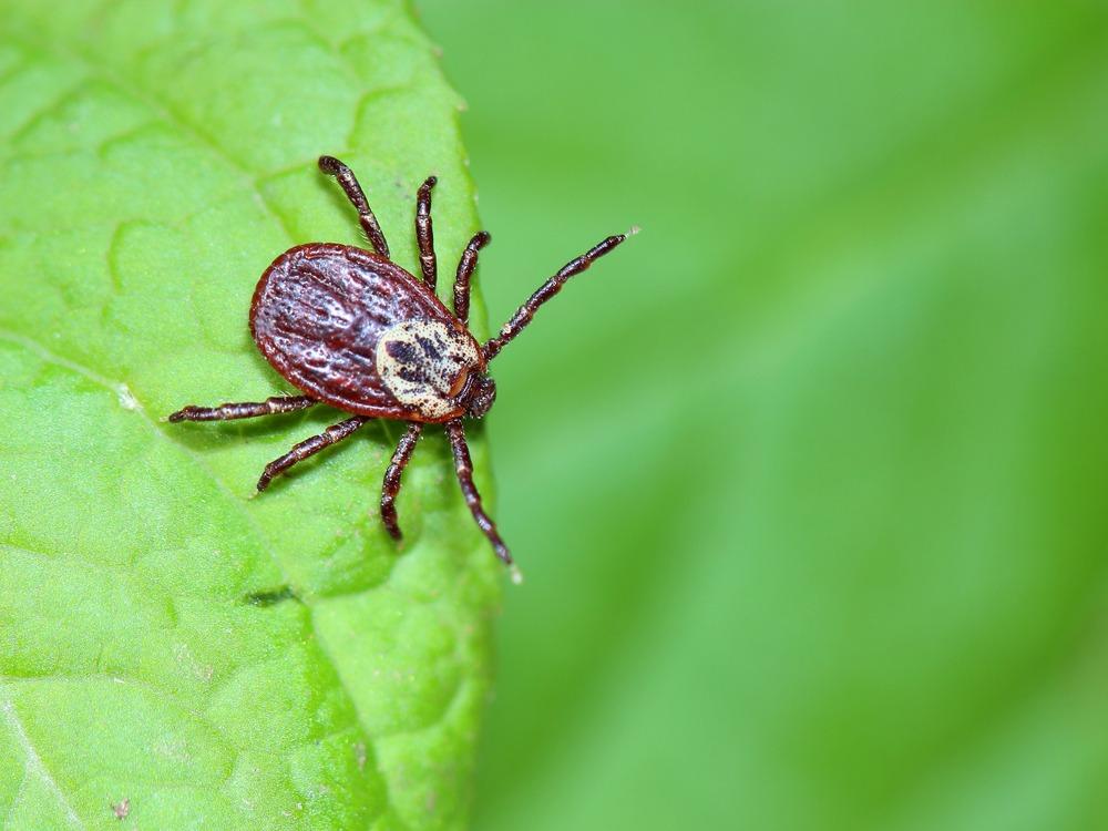 tick sitting on a leaf-hartz pest control