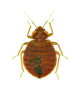 Bed Bug Pest Control - Image of a Houston Bed Bug