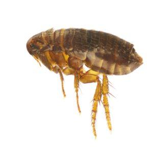Flea Pest Control Services by Hartz Pest Control. Image of a flea.