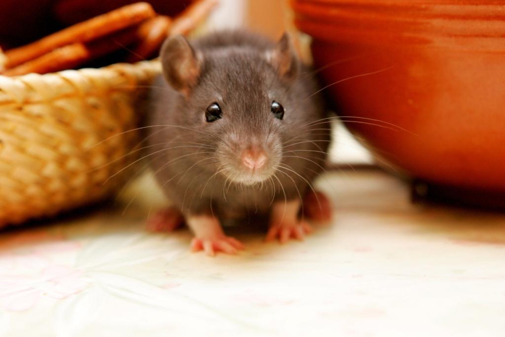 Rat Extermination Services in Houston
